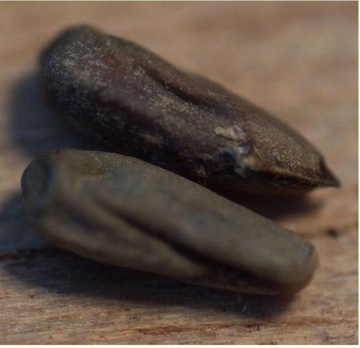 Récolte des semences, plante par plante Erodiu11