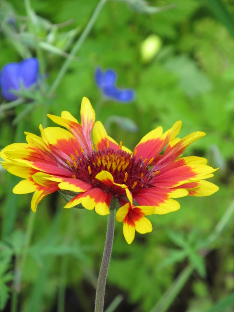 Récolte des semences, plante par plante - Page 2 Gailla15
