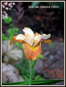 GUIDE D'IDENTIFICATION : les IRIS  Ginger10
