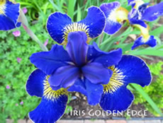GUIDE D'IDENTIFICATION : les IRIS  Golden10