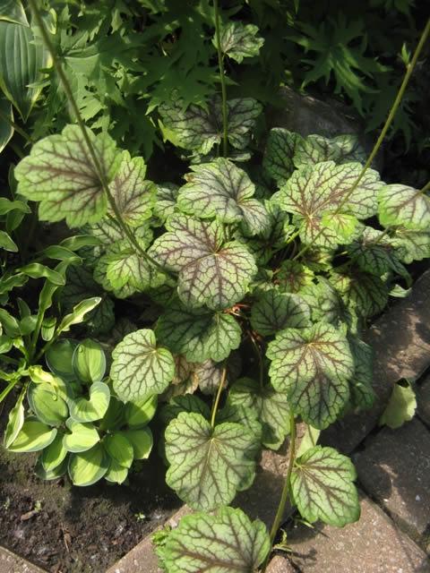 Guide d'identification: Heuchères, tiarelles & heucherellas Greens13
