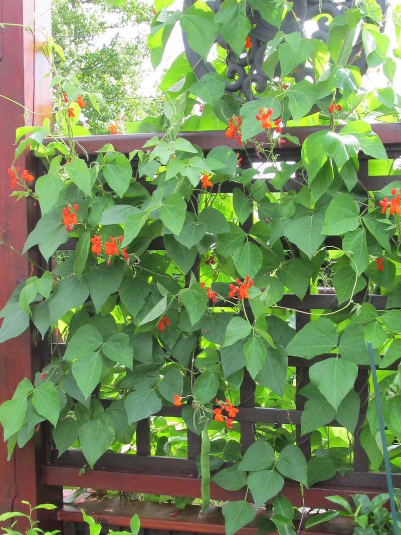 Récolte des semences, plante par plante - Page 2 Harico12