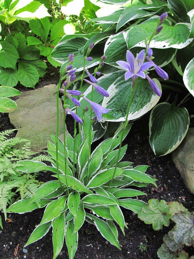 Liste des plantes aux Introuvables ( Mr Carrier )  Hosta_23