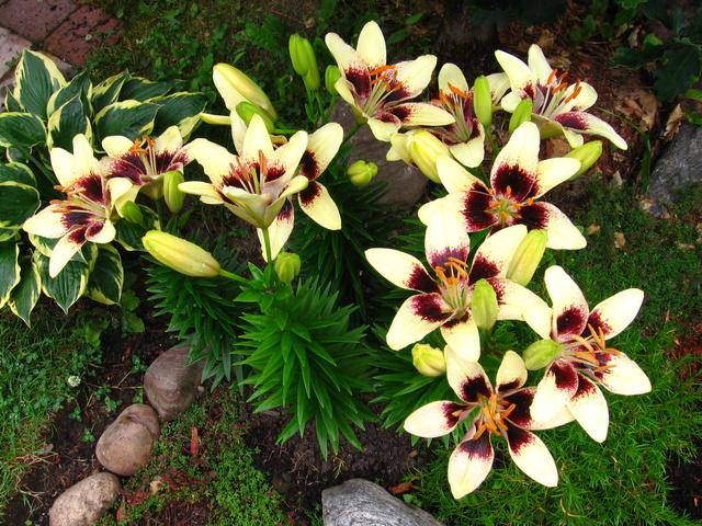 Guide d'identification: jeunes pousses, feuillages et fleurs Img_2310
