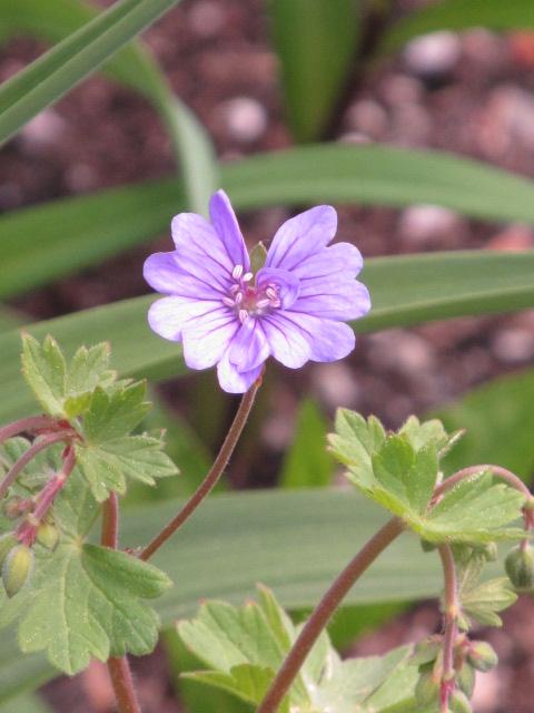 Guide d'identification: jeunes pousses, feuillages et fleurs - Page 8 Img_3344
