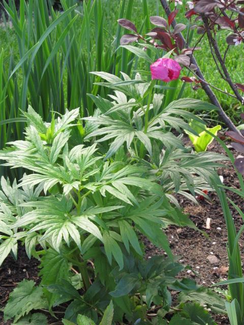 Liste des plantes aux Introuvables ( Mr Carrier )  Img_6644