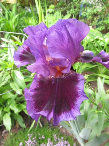 GUIDE D'IDENTIFICATION : les IRIS  Iris_m11