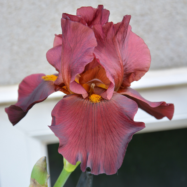 GUIDE D'IDENTIFICATION : les IRIS  Iris_w10