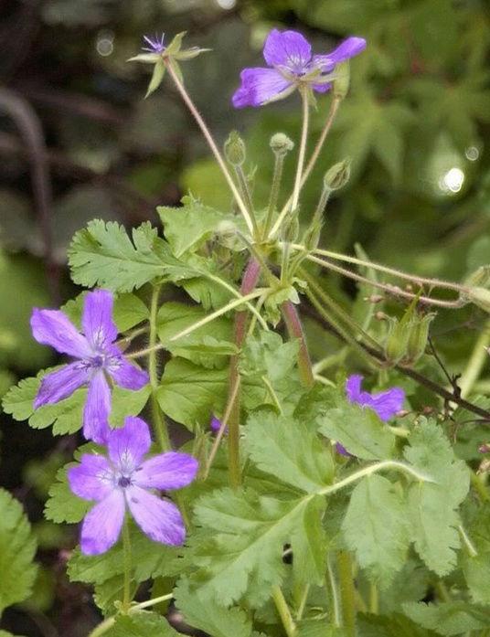 Récolte des semences, plante par plante Manesc10