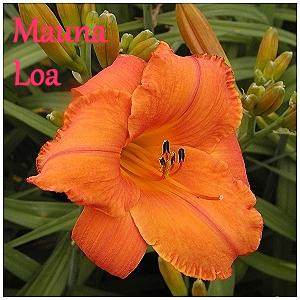 Semis d'Hemerocallis ( hémérocalles )  - Page 6 Mauna_10
