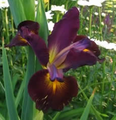 GUIDE D'IDENTIFICATION : les IRIS  Missou11