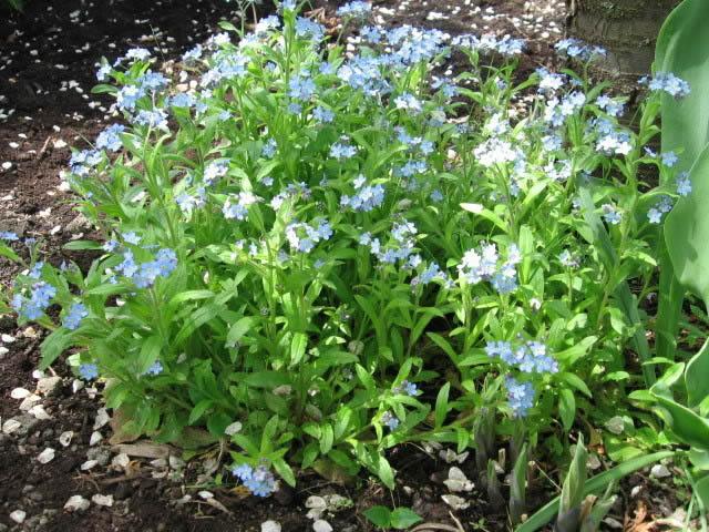 Guide d'identification: jeunes pousses, feuillages et fleurs Myosot11