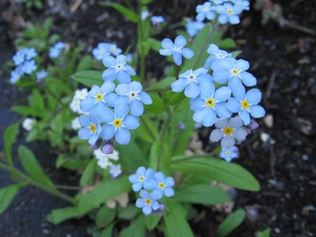 Guide d'identification: jeunes pousses, feuillages et fleurs Myosot12