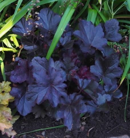 Guide d'identification: Heuchères, tiarelles & heucherellas Obsidi11