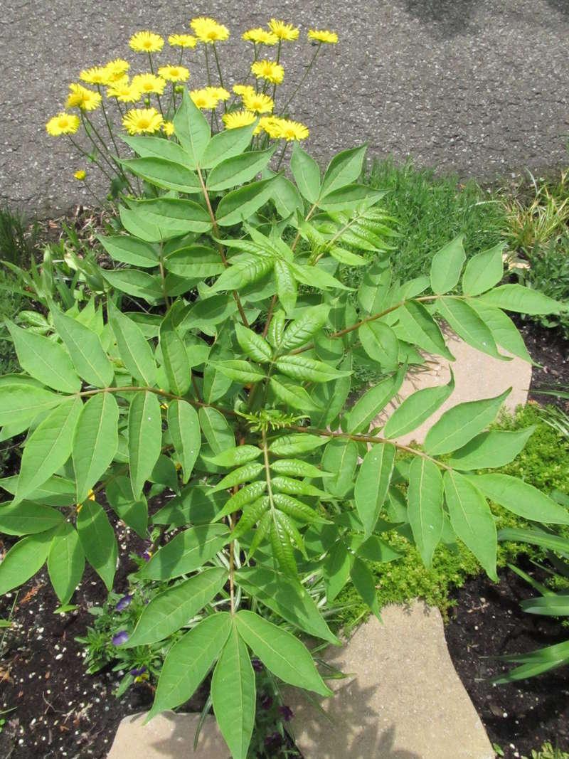 Liste des plantes aux Introuvables ( Mr Carrier )  Phello10