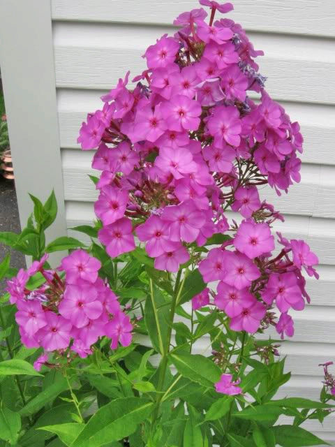 Guide d'identification: jeunes pousses, feuillages et fleurs Phlox411