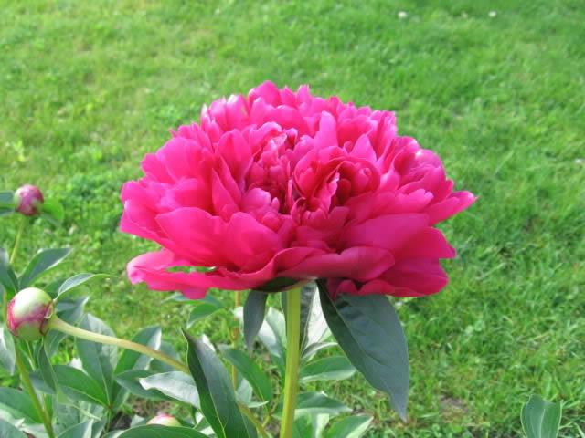 Guide d'identification: jeunes pousses, feuillages et fleurs Pivoin13