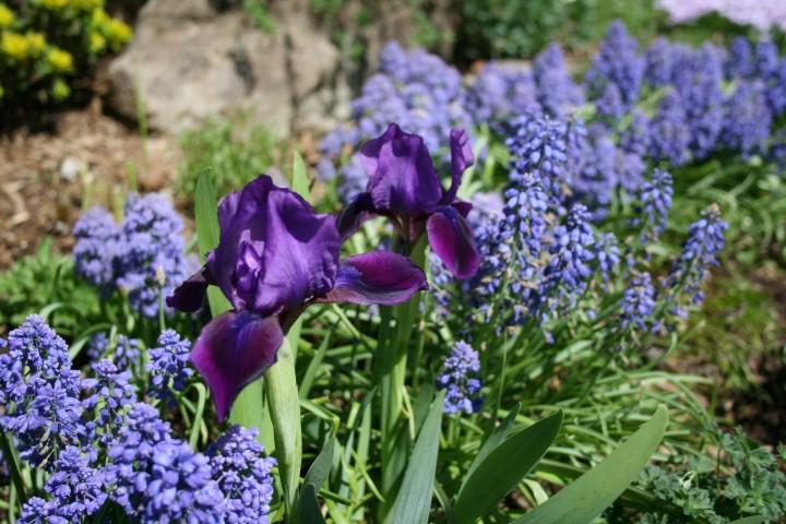 Guide d'identification: les IRIS (ancien) Purple10