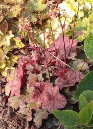 Guide d'identification: Heuchères, tiarelles & heucherellas Root_b12
