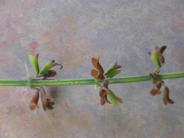 Récolte des semences, plante par plante - Page 4 Salvia12