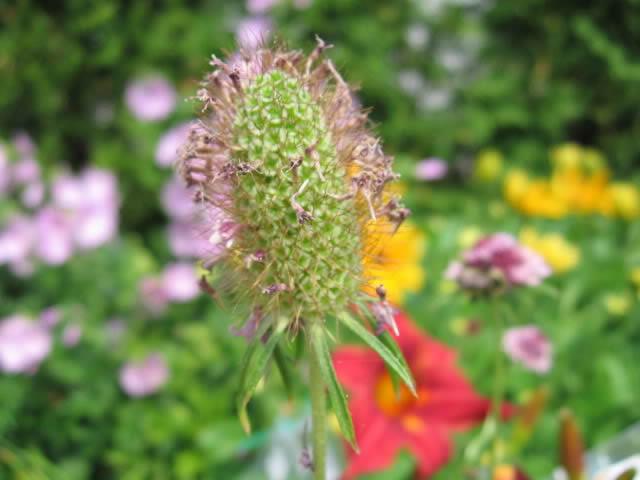 Récolte des semences, plante par plante - Page 4 Scabie11