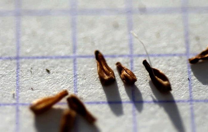 Récolte des semences, plante par plante - Page 4 Stok311