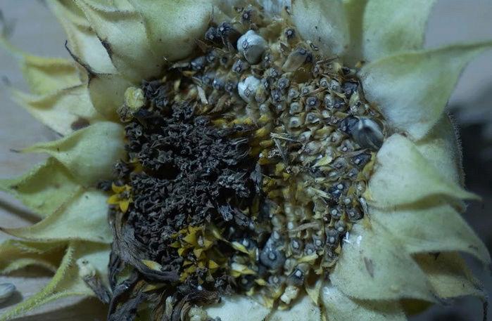 Récolte des semences, plante par plante - Page 4 Tourne12