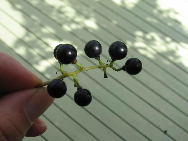 Récolte des semences, plante par plante - Page 4 Vigne_10
