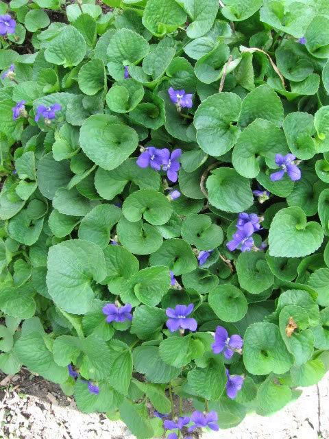 Guide d'identification: jeunes pousses, feuillages et fleurs Viola210