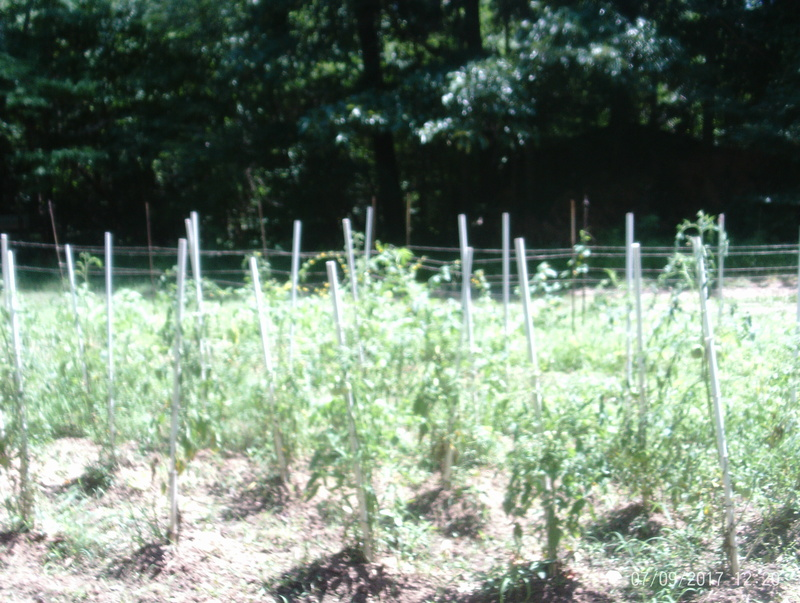 tomato plant tip Garden10
