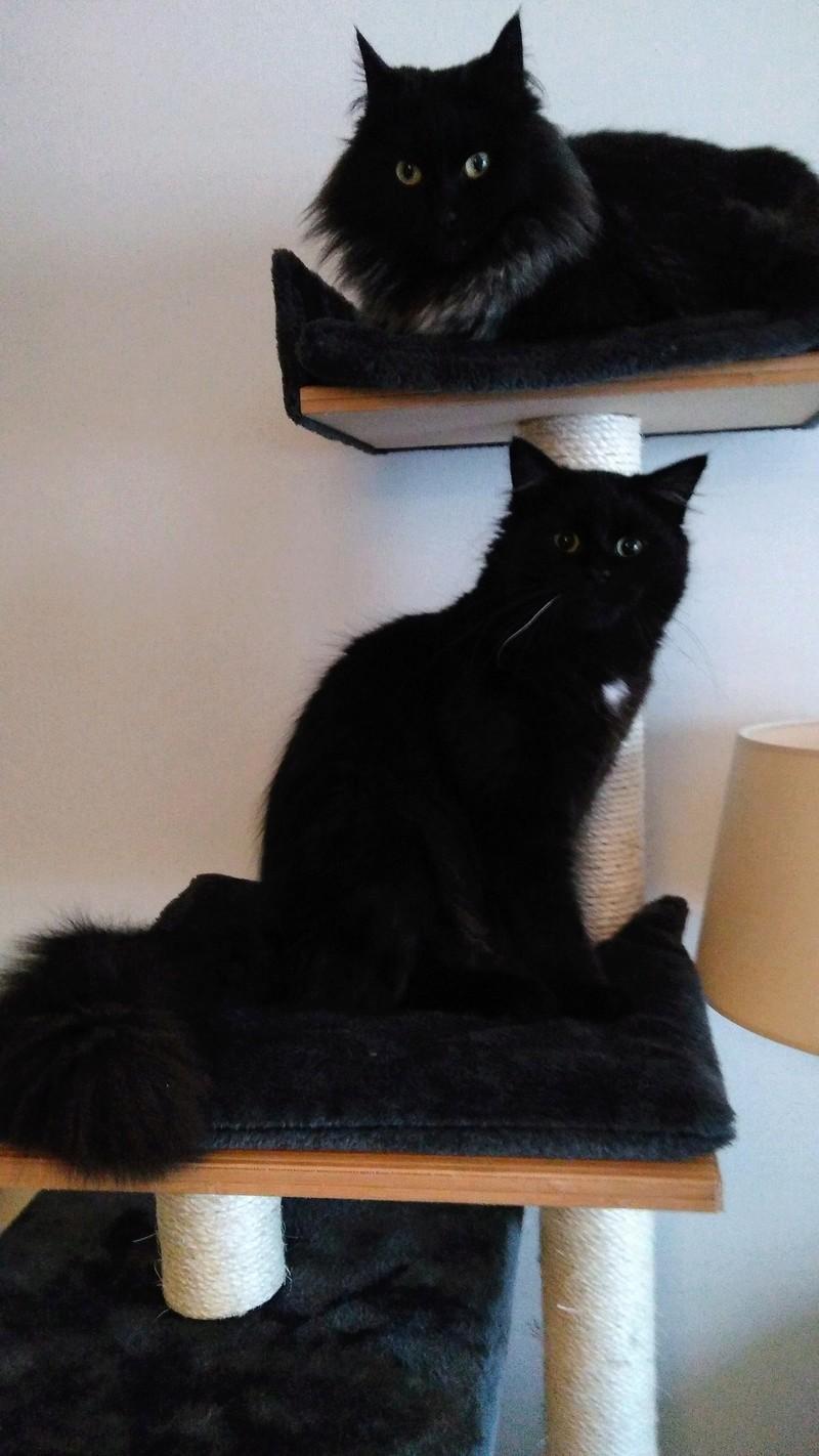 martin - MARTIN,chaton mâle noir,né le 08/06/16 Img_2011