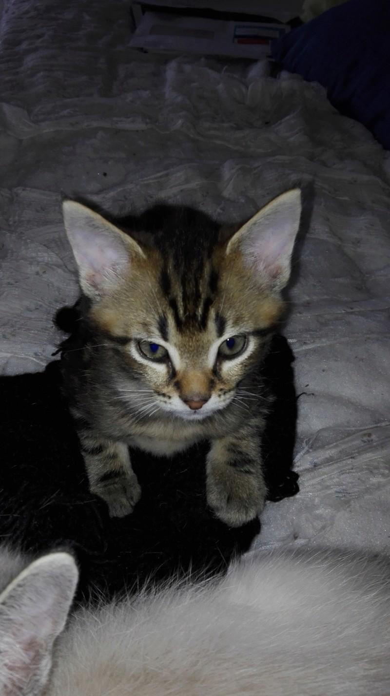 Nazraël chaton Brown Tabby né le 17/07/2017 Img_2023