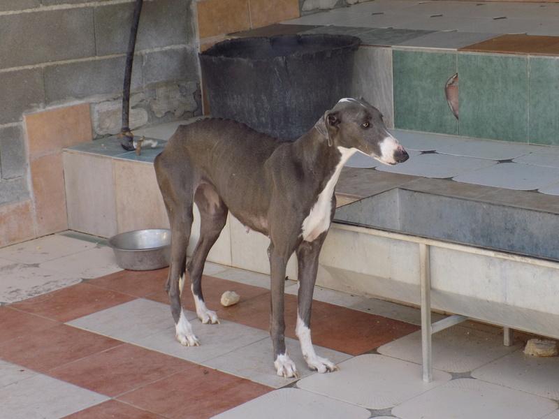 Rhianna ,jolie galga de couleur bleue Adoptée  13010