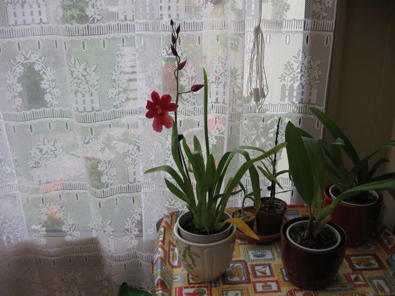 floraisons des orchidées - Page 42 Cambri10