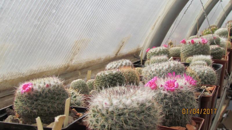 Cactus under carbonate 15 Img_7410