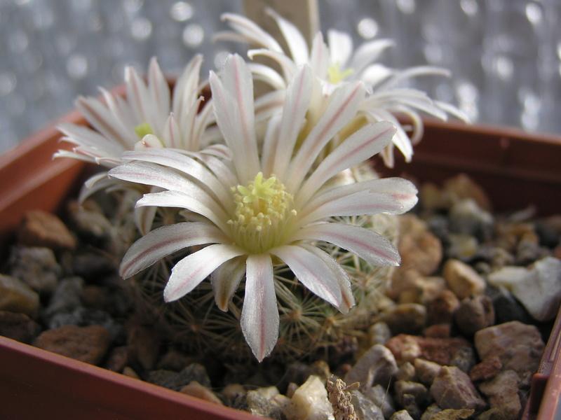 Cactus under carbonate 15 M_albi10