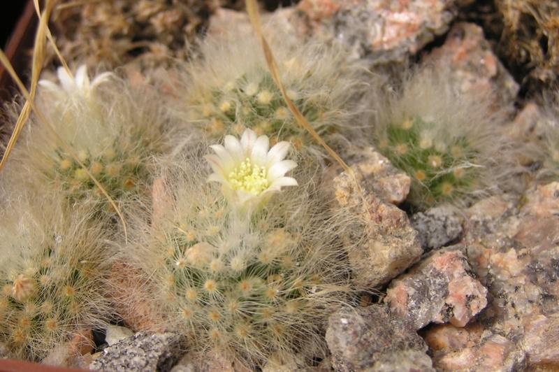 Cactus under carbonate 15 M_albi11