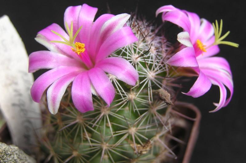 Cactus under carbonate 15 M_ange10