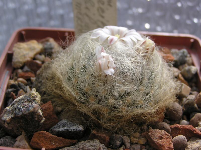 Cactus under carbonate 15 M_aure10