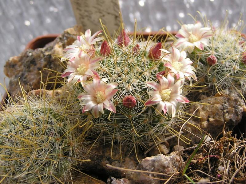 Cactus under carbonate 15 M_auri12