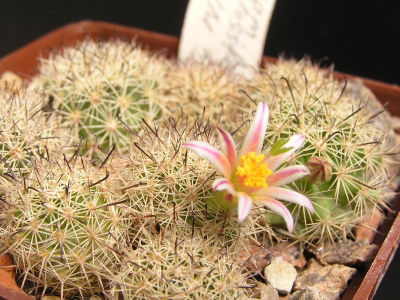 Cactus under carbonate 15 M_blos13