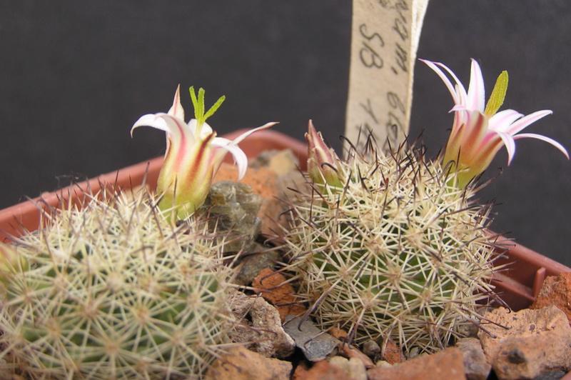 Cactus under carbonate 15 M_blos14