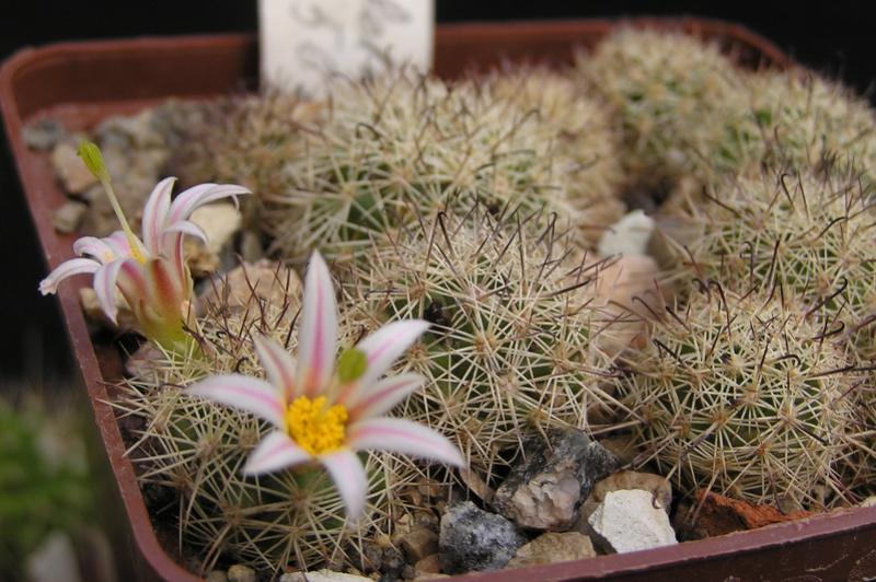 Cactus under carbonate 15 M_blos15