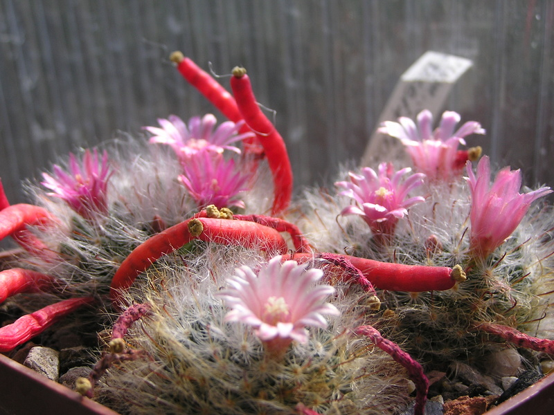 Cactus under carbonate 15 M_boca19