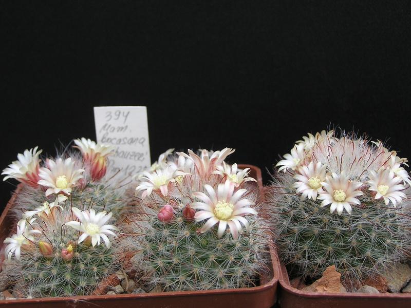 Cactus under carbonate 15 M_boca21