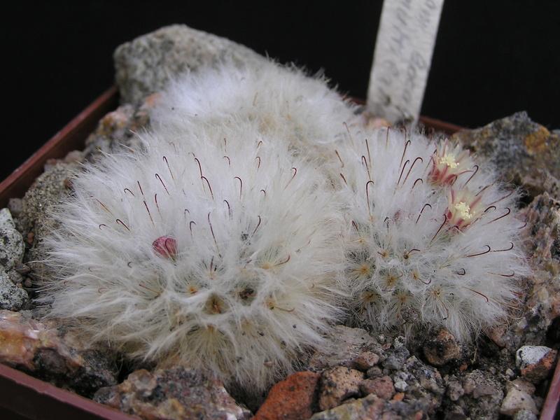 Cactus under carbonate 15 M_boca24