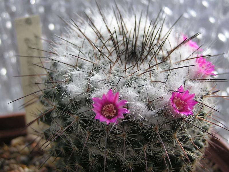 Cactus under carbonate 15 M_brav10