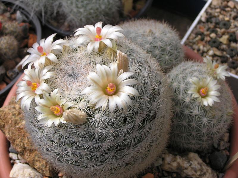 Cactus under carbonate 15 M_cand10