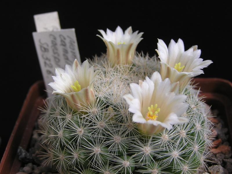 Cactus under carbonate 15 M_cand11