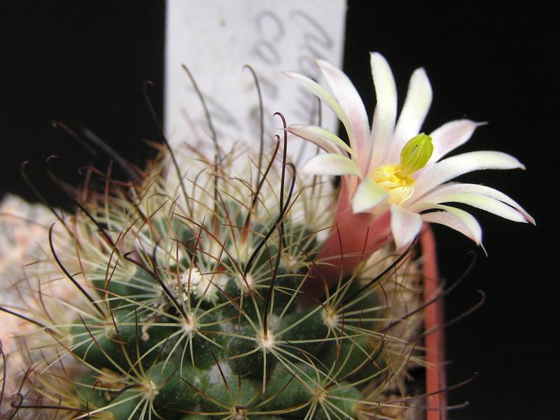 Cactus under carbonate 15 M_care10